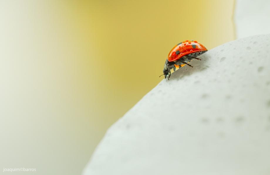 Ladybug  2016 - low-1-2